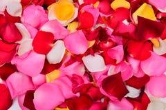 五颜六色的玫瑰花瓣 免版税图库摄影