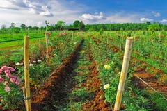 五颜六色的玫瑰行在玫瑰色农场 免版税库存照片