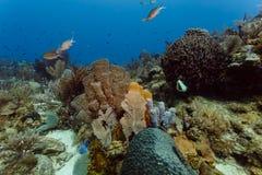 五颜六色的珊瑚、海底扇、海绵和鱼特写镜头在珊瑚礁Roatan 图库摄影