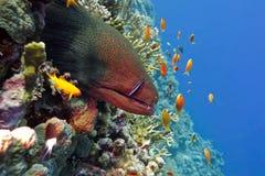 五颜六色的珊瑚礁用在热带海底部的危险伟大的海鳝  免版税库存图片
