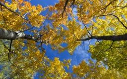 五颜六色的白杨木树在芬兰 库存图片