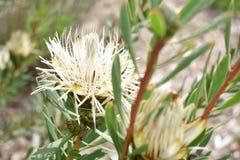 五颜六色的白色植物在植物园里在开普敦在南非 免版税图库摄影