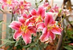 五颜六色的百合花春天在庭院里 免版税库存照片