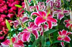 五颜六色的百合,百合属植物 免版税库存图片