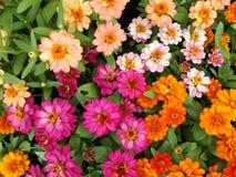 五颜六色的百日菊属在庭院里 免版税库存图片