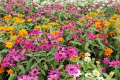 五颜六色的百日菊属在庭院里 库存图片
