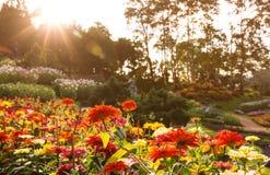五颜六色的百日菊属花开花 库存图片
