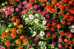 五颜六色的百日菊属 免版税库存照片