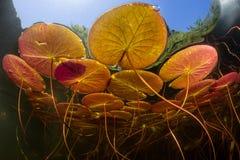 五颜六色的睡莲叶水下在湖边缘  图库摄影