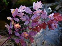与紫色叶子的秋天分支。 免版税库存图片