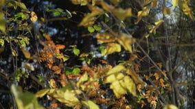 五颜六色的秋叶在晴天 股票录像