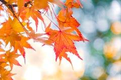 五颜六色的秋叶Momiji观察  免版税库存图片