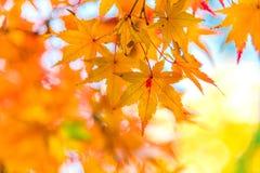 五颜六色的秋叶Momiji观察  免版税图库摄影