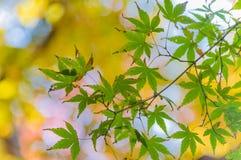 五颜六色的秋叶Momiji观察  免版税库存照片