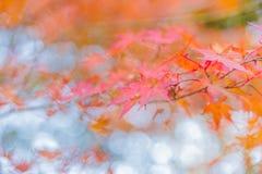 五颜六色的秋叶Momiji观察  库存图片
