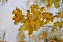 五颜六色的秋天叶子抽象背景  两次曝光,黄色槭树叶子 免版税库存图片