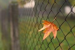五颜六色的秋天叶子特写镜头照片在篱芭的 免版税库存照片