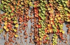 五颜六色的秋天常春藤叶子 库存照片