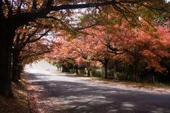 五颜六色的秋天树在Blackheath在蓝山山脉 免版税库存图片