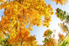 五颜六色的秋天槭树在10月天 免版税库存图片