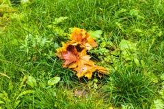 五颜六色的秋天槭树在绿草背景离开  顶视图 库存照片