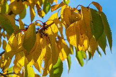 五颜六色的秋天樱桃叶子 库存照片