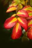 五颜六色的秋天留下槭树 免版税库存图片