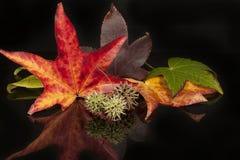 五颜六色的秋天美国梧桐叶子 免版税图库摄影