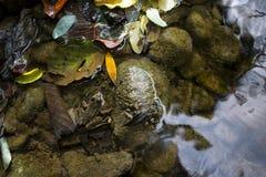 五颜六色的秋天背景青蛙在河,下落的叶子 免版税库存照片