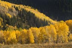 五颜六色的秋天金黄亚斯本树雪崩在Vail科罗拉多 免版税库存照片