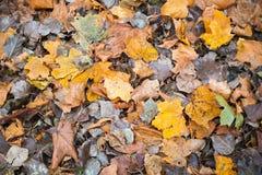 五颜六色的秋季下落的叶子在冷的地面说谎 免版税库存图片