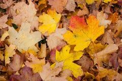 五颜六色的秋季槭树背景在地面上离开 图库摄影