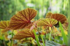 五颜六色的秋海棠叶子-蠕虫眼睛视图 库存图片