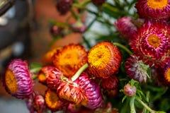 五颜六色的秸杆花或金黄永恒装饰在桔子、桃红色和紫色树荫下与明亮的黄色瓣,绿色词根 库存图片
