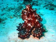 五颜六色的章鱼 免版税库存图片