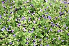 五颜六色的紫罗兰色中提琴 库存照片