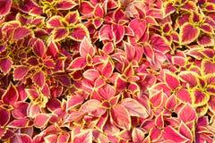 五颜六色的红色和黄色叶子自然春天背景 库存照片