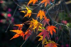 五颜六色的红色和黄色秋叶在阳光下 图库摄影