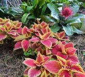 五颜六色的红色和黄色Verigated热带庭院 库存图片