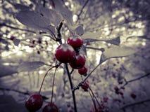 五颜六色的红色樱桃树 免版税图库摄影
