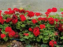 五颜六色的红色花,庭院公园 库存照片