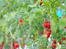 五颜六色的红色蕃茄 库存图片