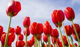 五颜六色的红色郁金香到达对明亮的蓝色晴朗的春天天空 库存图片