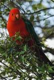 五颜六色的红色鹦鹉坐树澳大利亚 免版税图库摄影