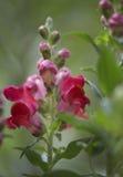 五颜六色的红色snapdragon或金鱼草属花 免版税图库摄影