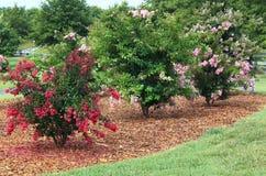 五颜六色的绉绸桃金娘结构树 免版税图库摄影