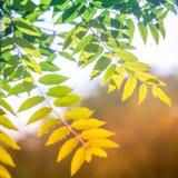 五颜六色的绿色黄色树在温暖的太阳的光芒离开作为段落的标志从夏天到秋天 库存照片