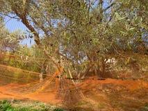 五颜六色的网在收获果子的橄榄树下做油 图库摄影