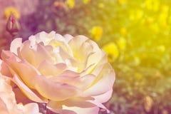 五颜六色的罗斯在庭院里 库存图片