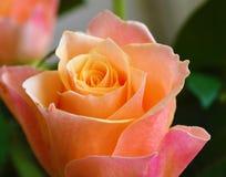 五颜六色的罗斯绽放 免版税库存照片